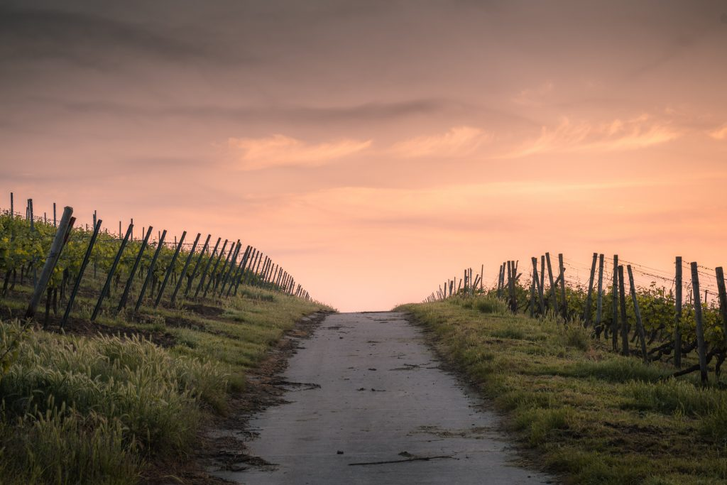 a sandy path disappears into the sunset between vineyards and fence posts